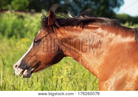 portrait of running welsh pony at freedom