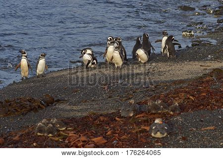 Magellanic Penguins (Spheniscus magellanicus) and Falkland Steamer Ducks (Tachyeres brachypterus) on a beach on Bleaker Island in the Falkland Islands.