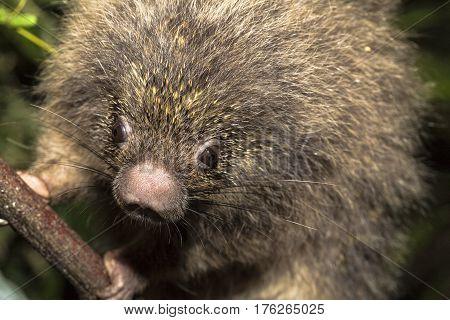 Coendou prehensilis brazilian porcupine in Espirito Santo Brazil.
