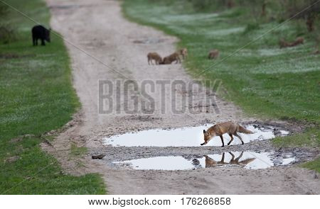 Red Fox And Wild Boar In Forest