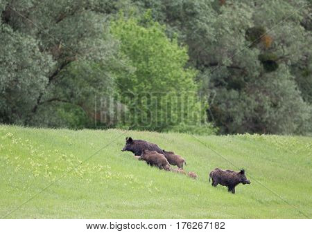 Wild Boars With Piglets In Forest