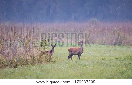 Hind And Calf Standing In Reed
