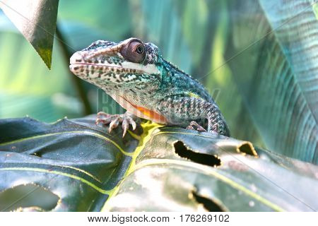Lizard Iguanidae knight anole basking on a tree trunk
