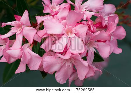 Beautiful pink rhododendron flowers on a branch. Close up.