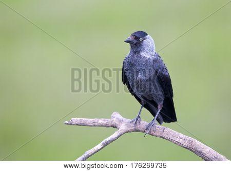 Daw Bird On Branch