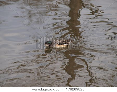 A Chiloe Wiggeon Duck from South American lands at White Rock Lake in North America.