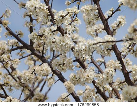 Branches on flowering trees are loaded with beautiful white blooms against a blue sky and accented dark bark.