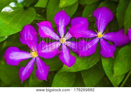 clematis. Beautiful purple flowers of clematis over green background. Purple clematis flowers.clematis flowers.