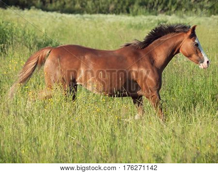 running welsh pony in the field at freedom