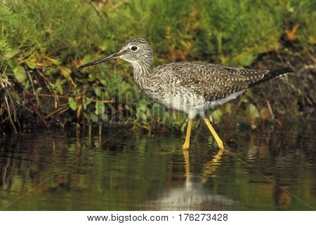 A greater Yellowlegs sandpiper Tringa melanoleuca walks in a shallow pond