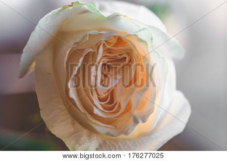 White rose background with shallow depth of field, macro photo