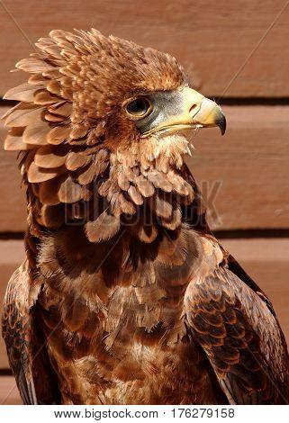 Close up head shot of a Bateleur Eagle