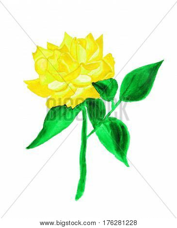 Yellow rose on white background hand drawn painting watercolor.
