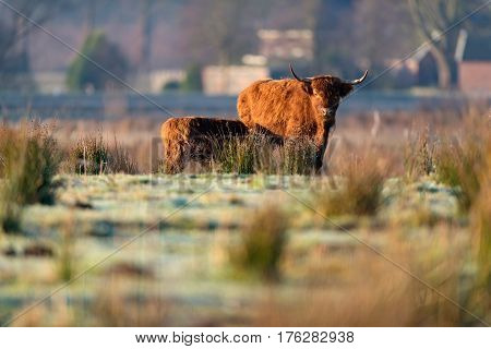 Highland Cow With Calf In Tall Grass Meadow.