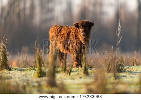 Cute highland calf standing in a meadow.