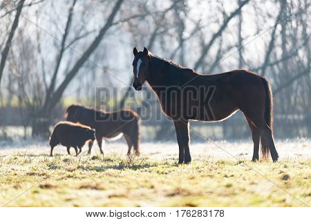 Horse, Pony And Sheep In Meadow On Cold Winter Morning.