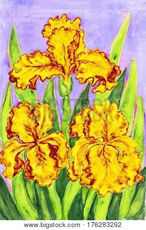 Three yellow irises hand painted picture watercolours.