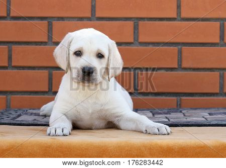 Little Cute Labrador Puppy On A Brown Background