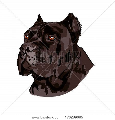 Hand drawn Cane Corso VECTOR sketch isolated on white