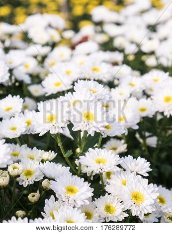 White chrysanthemum bunch in the flower row of the countryside farm.(Select focus)