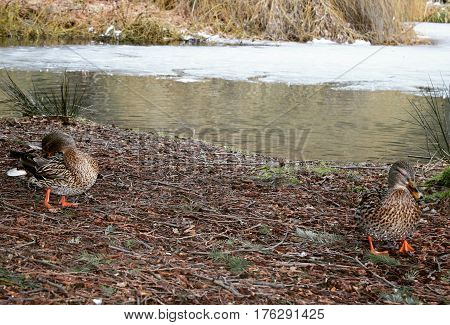 Two female ducks on shoreline with partially ice covered pond water and grass embankment in background.