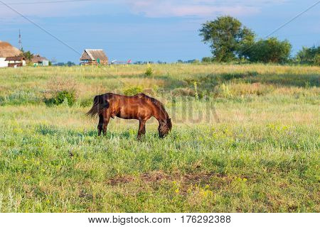 Brown horse grazing on a leash horse in the field at the evening