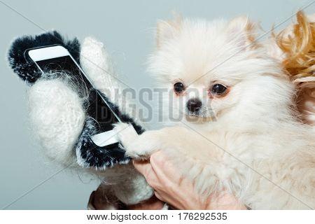 Cute Pomeranian Dog Using Smartphone In Female Hands