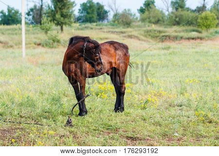 Brown horse on a summer pasture. Brown horse grazing on a leash horse in the field at the evening