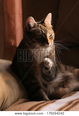 Small older cat sitting on a comfy blanket photographed in soft ambient window light.