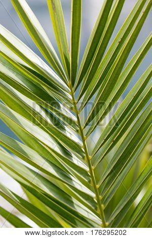 Green Leaves Of Palm Tree As Background