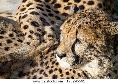 Closely cropped Cheetah resting after a meal