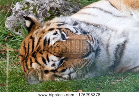 Tiger resting up after a meal at Paradise Wildlife Park