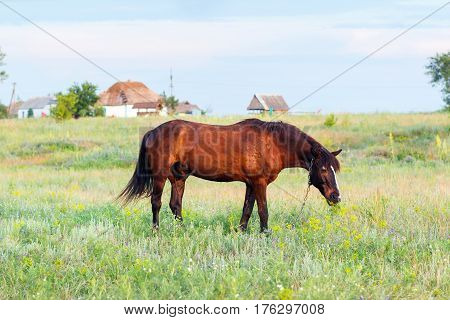 Brown Horse Grazing On A Leash, Horse In The Field At The Eveningbrown Horse Grazing On A Leash, Hor