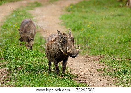 Wildlife Warthog in safari in Africa Kenya Naivasha National Park