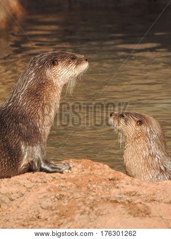 Two river otters hanging out by the river