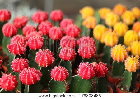 The globular cactus with a red top.
