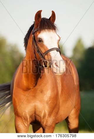 portrait of beautiful welsh pony mare. evening