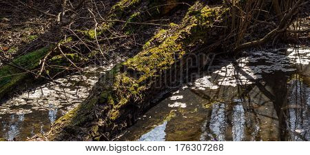 A tree covered with moss lies on the swamp the kind in the backlight is very beautiful
