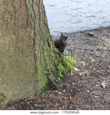 Brown squirrel peeping around tree trunk with green moss on base of tree.