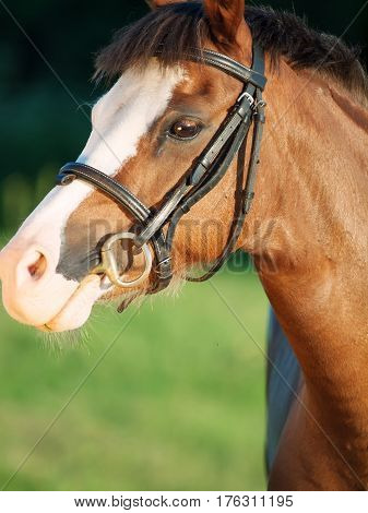 portrait of beautiful welsh pony mare. close up