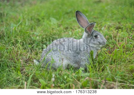Grey rabbit sitting on green grass, at court house