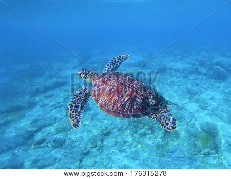 Sea turtle in water with sand sea bottom background. Underwater photography of wild oceanic animal. Tropical seashore inhabitant. Lovely green turtle swims and dives in seawater. Exotic nature photo