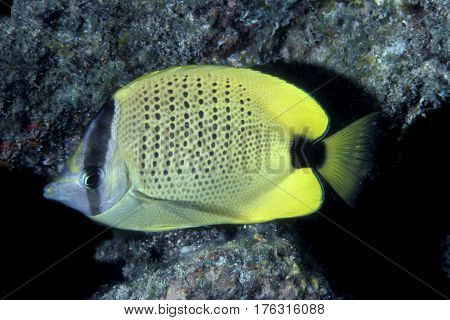 A Milletrseed Butterflyfish, Chaetodon miliaris is an endemic species from the Hawaiian Islands