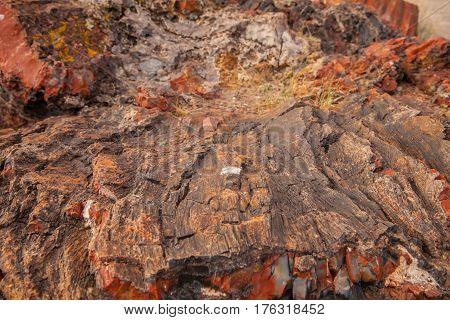 Petrified Forest National Park. Red tree. Arizona. USA.