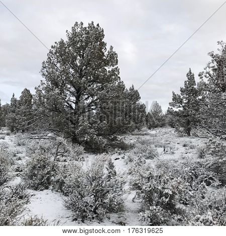 A full juniper tree that's leaning slightly and lots of sagebrush on the ground covered with fresh winter snow in rural Crook County in Central Oregon.