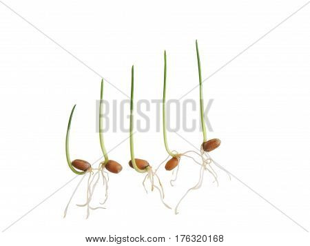 Sequence of five wheat plant growing isolated on white background