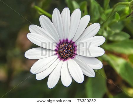White Flower With Purple Pestils, Daisy, Close Up