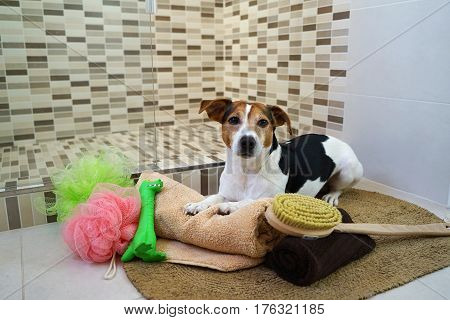 Jack Russell Terrier dog lying on a rug in the bathroom and ready for water procedures