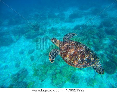 Sea turtle in blue water above sand seabottom. Tropical sea nature of exotic island. Olive ridley turtle in blue sea water. Green tortoise in tropical lagoon. Underwater photo of cute marine animal