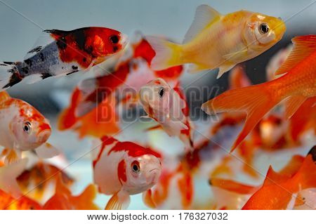 many goldfish in the aquarium of pet shop for sale